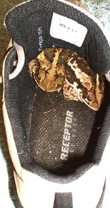 Shoetoadsm