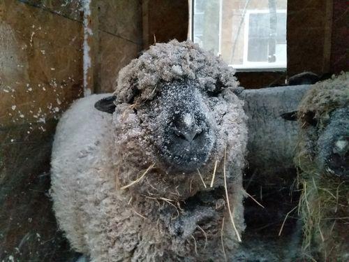 Cold mutton